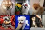 Объявления о продаже щенков