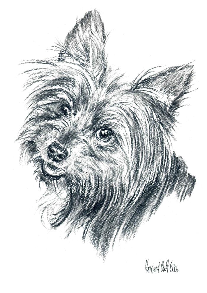Йоркширский терьер рисунок карандашом