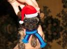 Маленький йорк Санта-Клаус